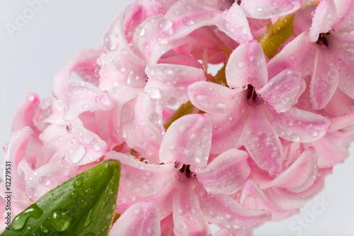 Montage in der Fensternische Hortensie hyacinthus flower