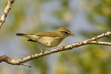 Arctic (willow) Warbler (Phylloscopus Borealis)