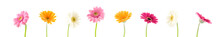 Colorful Gerbera Background