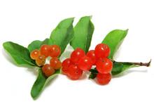 Small Orange Honeysuckle Wild Berry