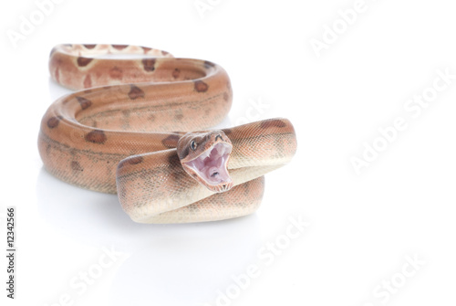 Hypo Redtail Boa - Buy this stock photo and explore similar