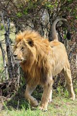 Panel Szklany Lew Lion (Panthera leo).