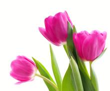 Three Pink Tulips (close-up)