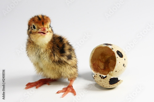 Obraz na plátně Quail chicken