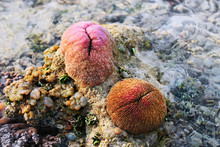 Mushroom Coral With Polyp Retr...