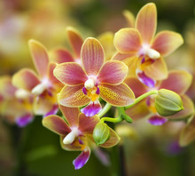Pink Yellow Spotted Orchids Ho...
