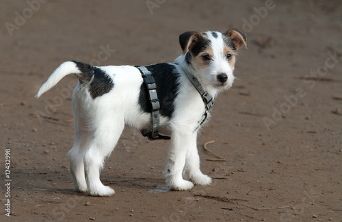 Parson Jack Russel Welpe Buy This Stock Photo And Explore Similar Images At Adobe Stock Adobe Stock
