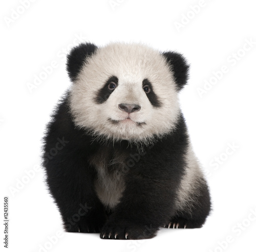 Canvas Prints Panda Giant Panda (6 months)