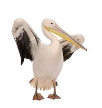 White Pelican - Pelecanus Onoc...