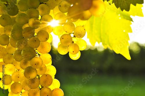 Fotografia, Obraz  Yellow grapes