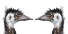 Two Ostriches Heads Isolated O...