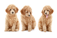 Three Apricot Poodle Puppy On White Background