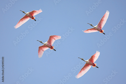 Aufkleber - Roseate Spoonbills In Flight