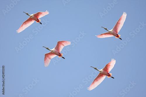 Sticker - Roseate Spoonbills In Flight