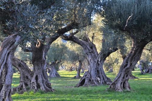 Papiers peints Oliviers oliviers provence
