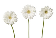 White Gerber Daisies Isolated On White