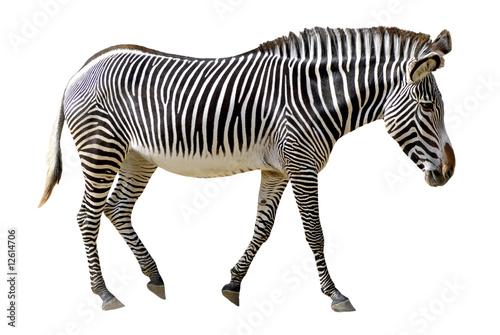 In de dag Zebra Détourage zèbre de Grévy (Equus grevyi)