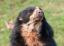 Andean Bear Portrait (Tremarct...