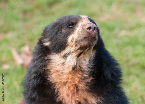 Andean Bear portrait (Tremarctos ornatus) Canvas Print