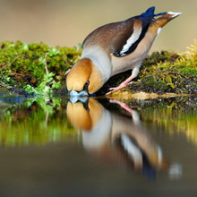 Drinking Hawfinch Reflecting In Water
