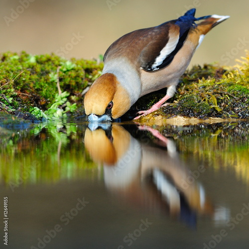 Obraz na plátně Drinking hawfinch reflecting in water
