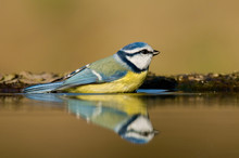 Blue Tit Having Bath And Reflecting On Water