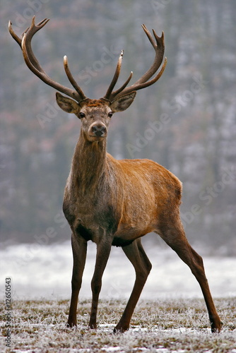 In de dag Hert Red deer on a meadow