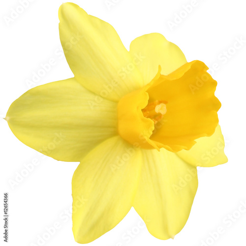Garden Poster Narcissus Daffodil isolated