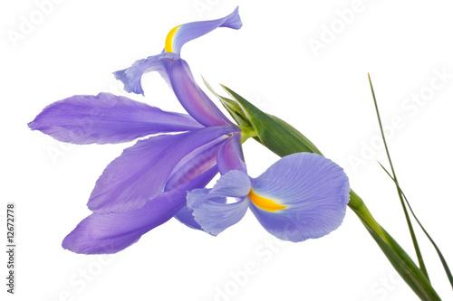 Spoed Foto op Canvas Iris iris flower