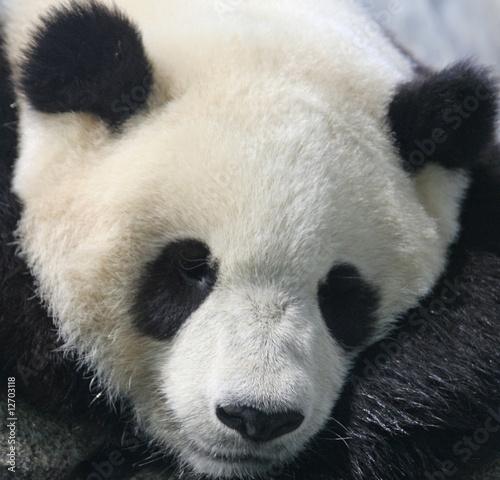 Fényképezés  Panda bear eating bamboo