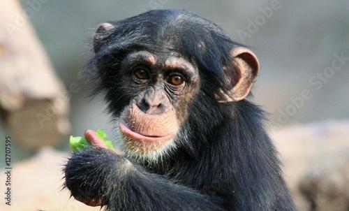 Foto op Plexiglas Aap Schimpansenjunges
