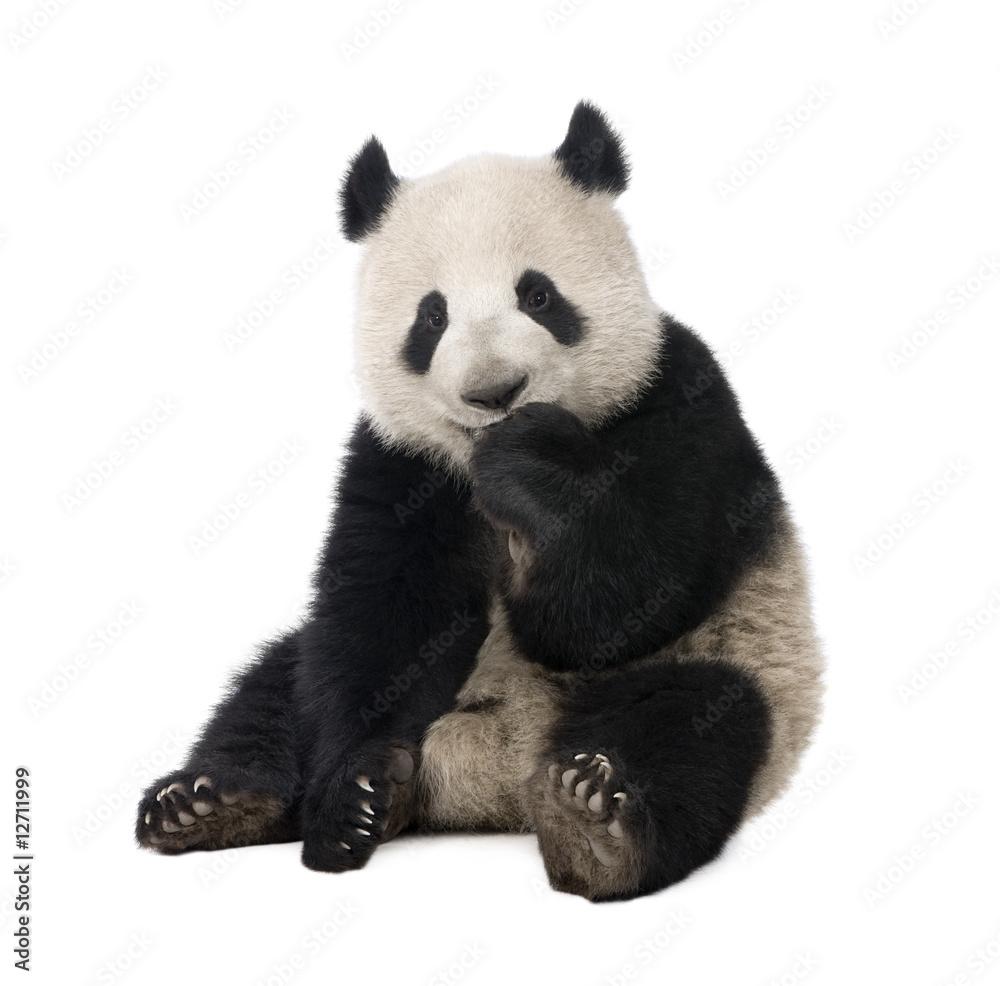 Fototapeta Giant Panda (18 months) - Ailuropoda melanoleuca
