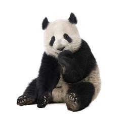 FototapetaGiant Panda (18 months) - Ailuropoda melanoleuca