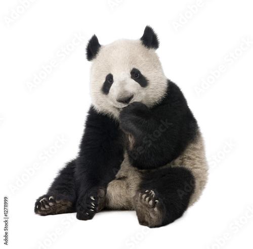 Poster Panda Giant Panda (18 months) - Ailuropoda melanoleuca