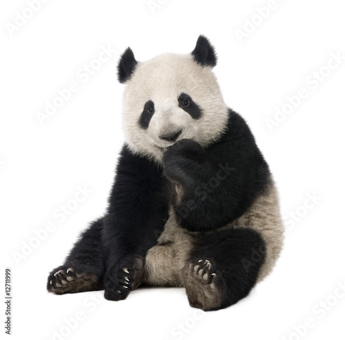 Fototapeta premium Giant Panda (18 miesięcy) - Ailuropoda melanoleuca