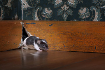 mouse coming out of her hole in a luxury old-fashioned room