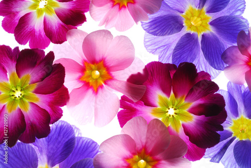 Photo colorful primula flowers