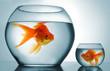 canvas print picture - Golodfish discrimination