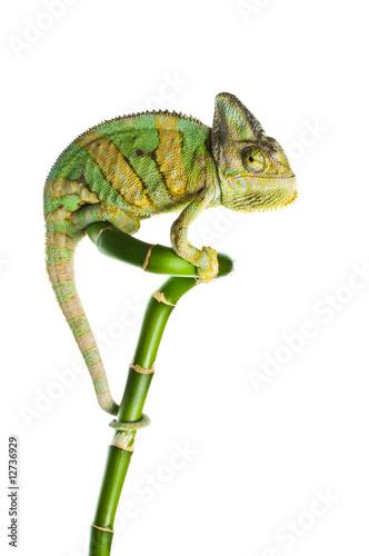 Staande foto Kameleon chameleon on a bamboo