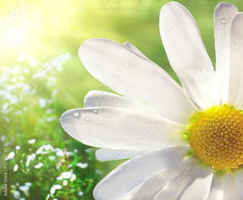 Foto-Banner - Wild daisy