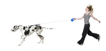 Young Girl Walking Her Dog (Great Dane 4 Years) Harlequin Great