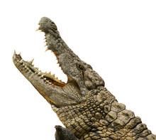 Alligator Freigestellt