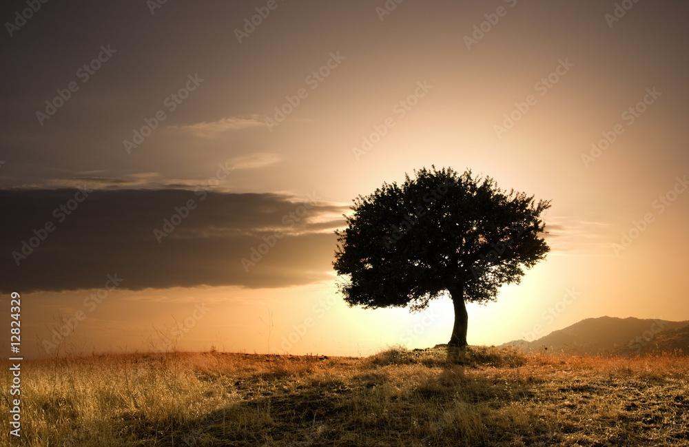 Fototapeta solitary oak tree in golden sunset
