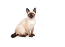 A Siamese Cat With Bright Blue Eyes On A White Background