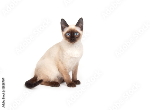 Fotografía A siamese cat with bright blue eyes on a white background