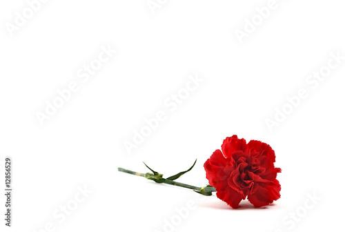 Photo  Single Red Carnation