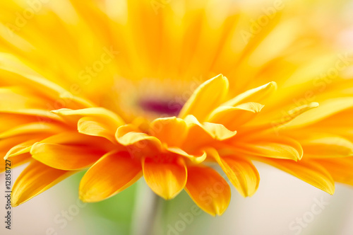 Foto-Duschvorhang - Closeup photo of yellow daisy-gerbera