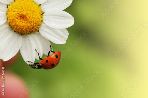 Fotografija  Ladybug on daisy flower