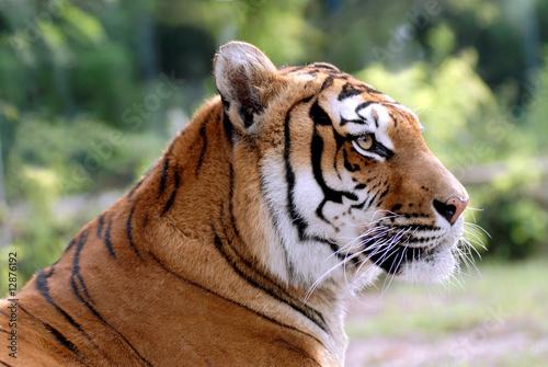 In de dag Tijger Portrait de tigre