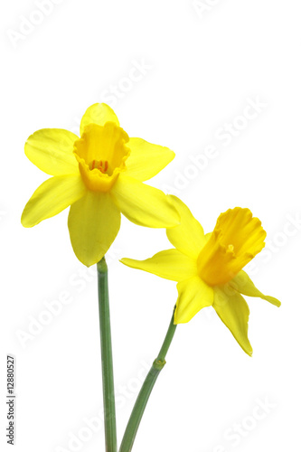 Papiers peints Narcisse narzissen